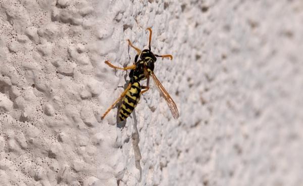 Wasp on wall by WioletaJ
