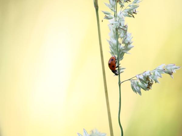 Seven spot ladybird, Astley Moss nature reserve by gibworth