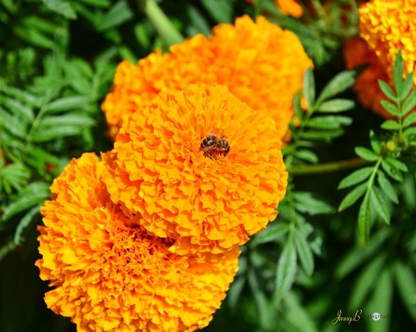Marigold by jb_127