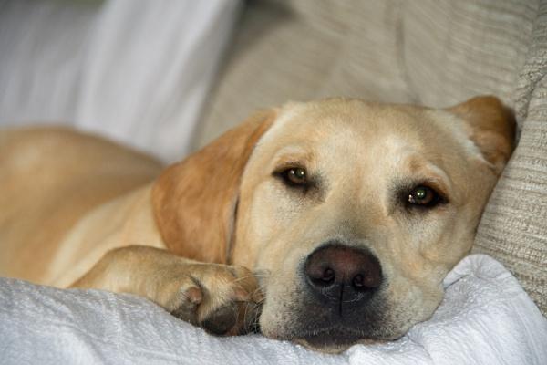 Lazy Labrador by LinH
