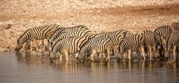 Thirsty Herd