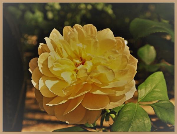 JUST A ROSE by EMJAYCEE