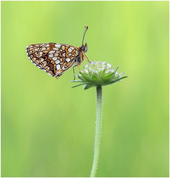 False Heath Fritillary - Melitaea diamina. by NigelKiteley