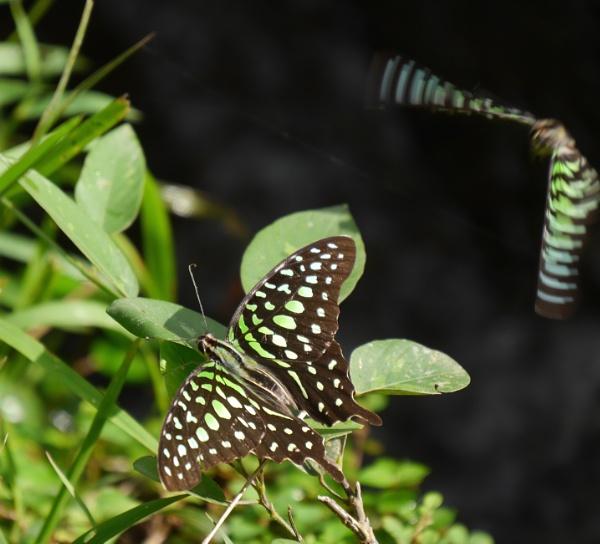 Bali butterflies .. by chrisdunham