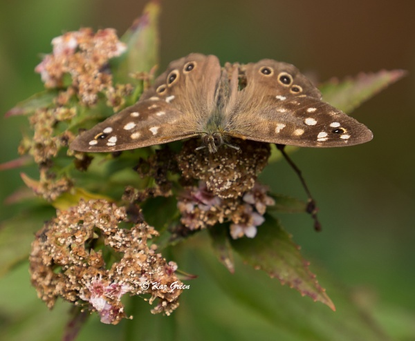 Speckled Wood by kaz1