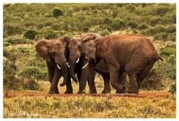 Elephants gossiping