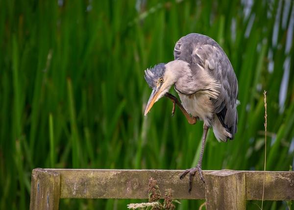 Scratching Heron by BydoR9