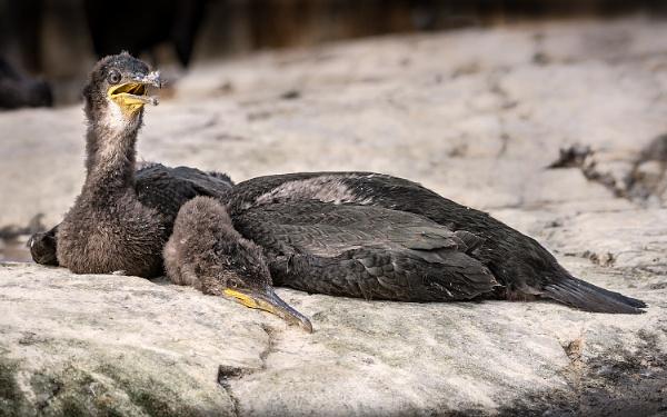 Juvenile Cormorants by BydoR9