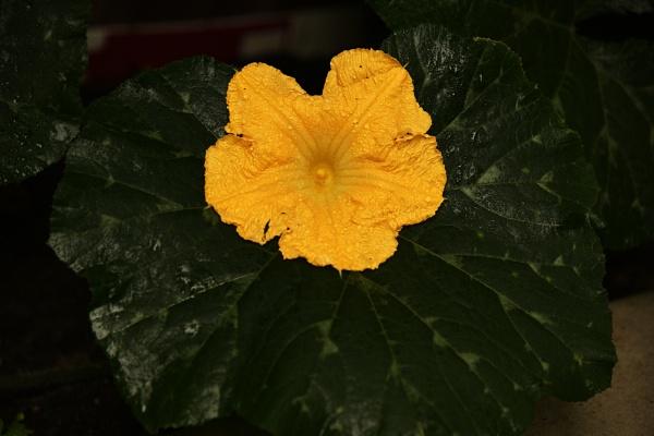 Pumpkin Flower on a Pumpkin Leaf by k2