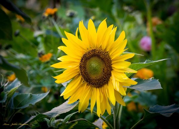 Sunflower. by kuvailija