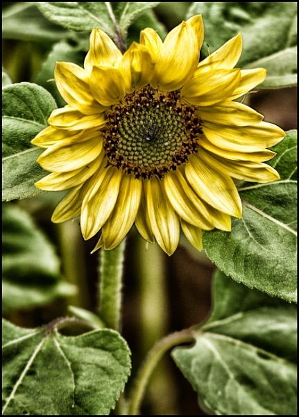 Sun Flower by phillipsrp