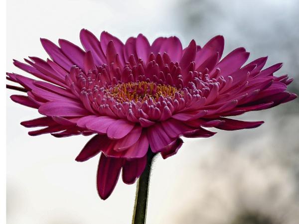 Daisy by wacrizphoto