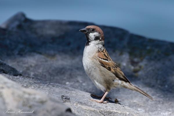 Tree Sparrow by trevrob