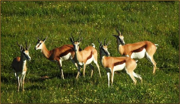 Impala by fotobee