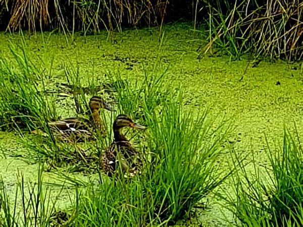 Ducks in a pond by Spring2bok