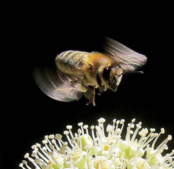 Flight of the Honey Bee by MaryFaith