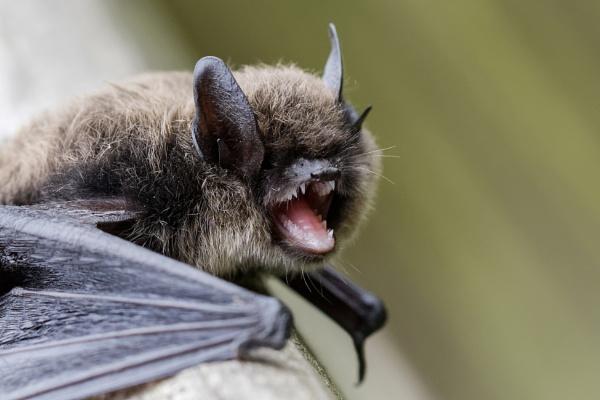 Pipstrelle Bat by Wanilson