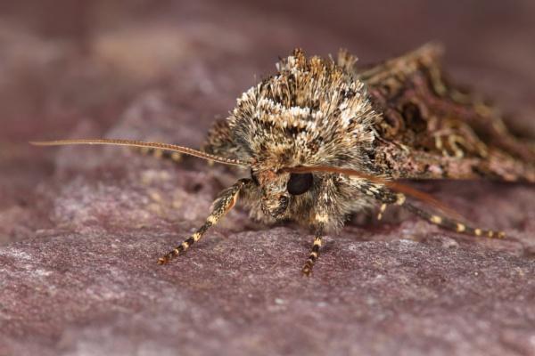 Campion Moth by CanonRebecca22