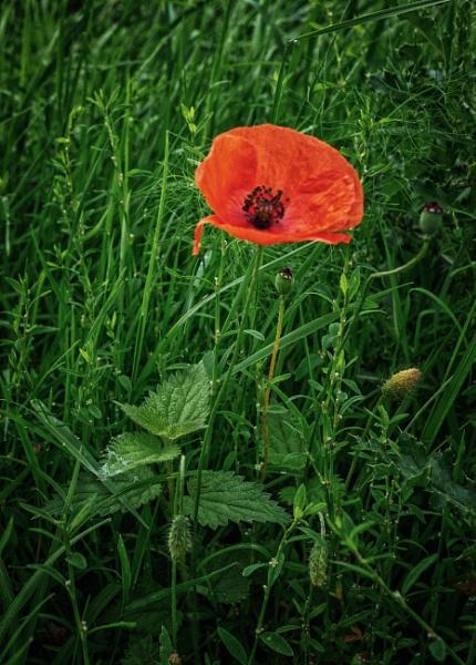 Poppy by BillRookery