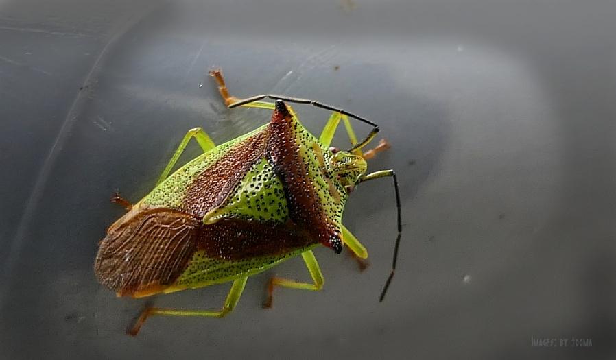 Adult Hawthorn Shield-bug.