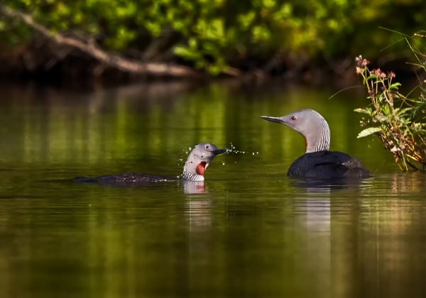 Red-throated divers 2 in Luukki by hannukon
