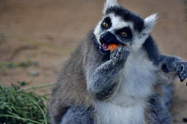 Lemur by Savvas511