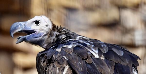 Bare headed Vulture by Savvas511