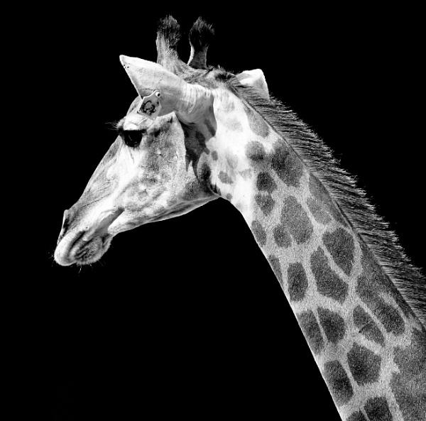 Giraffe by Savvas511