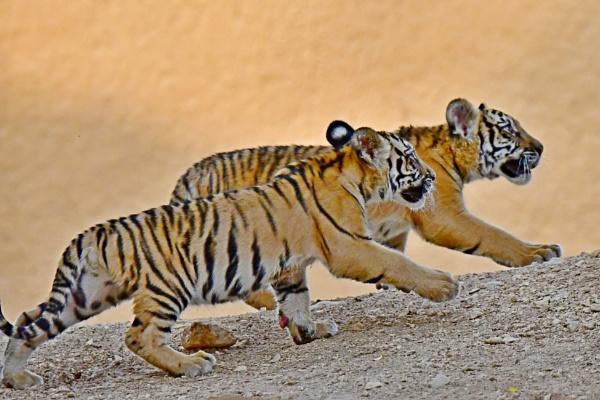 Baby Tigers by Savvas511