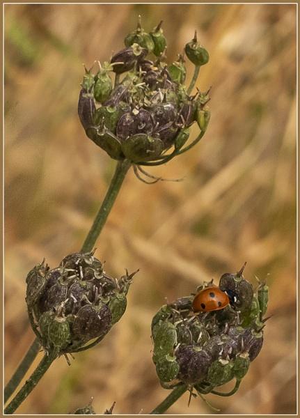 Seedheads with Ladybird by AlfieK