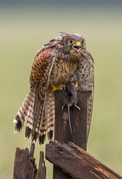 kestrel with prey by tomskibabes