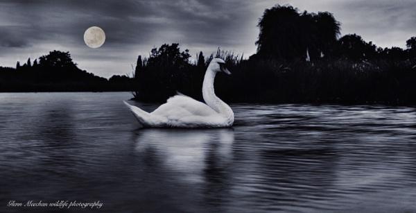 Swan by Glenn1487