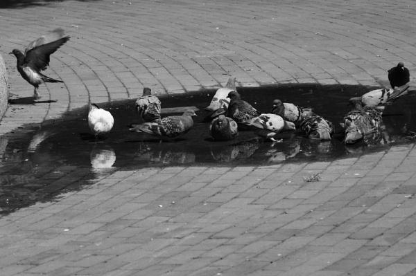 "~ \""Pigeons at Burnside Park\"" by LexEquine"