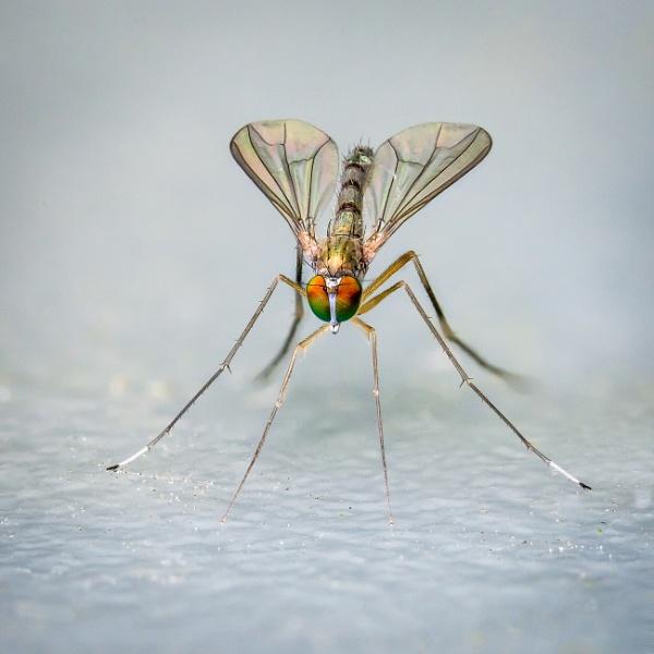 Long legged fly by barrywebb