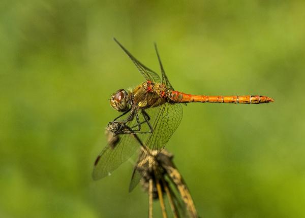 Dragonfly by mickwattam