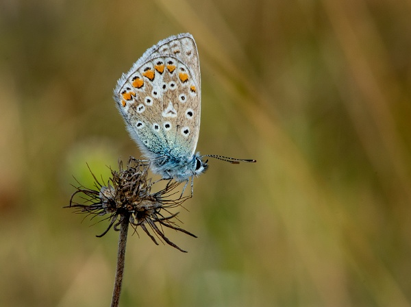 Common blue(m) Polyomattus icarus by Mike_Young