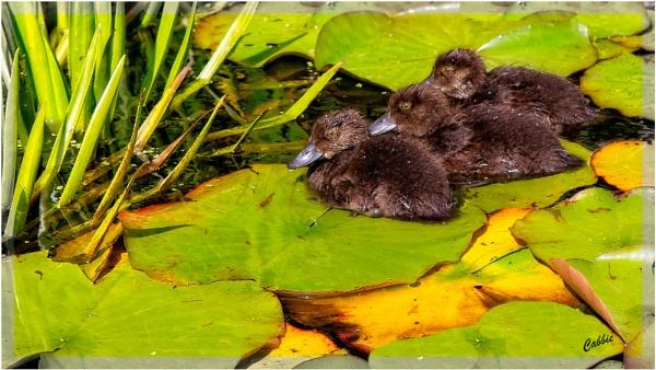 Duckie Trio by cabbie