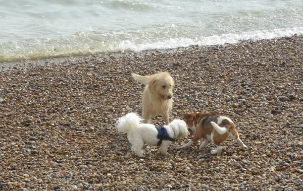 Canine beach play by happysnapperman