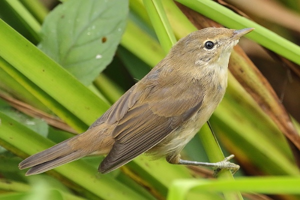 Reed warbler by colin beeley