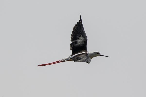 Black Winged Stilt in Flight by WorldInFocus