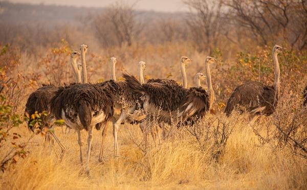 Ostrich flock by rontear