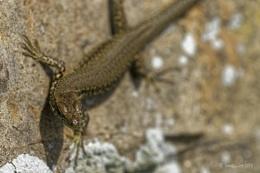 Wall Lizard.