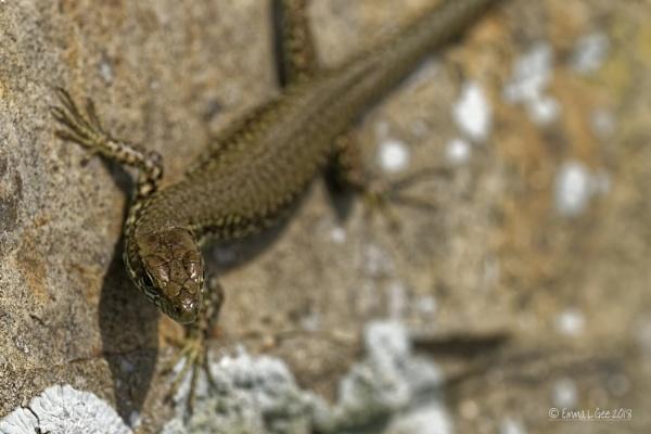 Wall Lizard. by Imageering