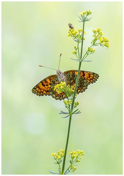 Knapweed Fritillary by NigelKiteley