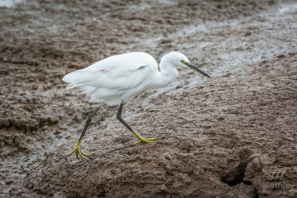 Little Egret by Philo