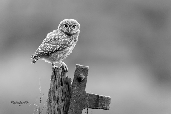 Owlet at Dusk by Louise_Morris