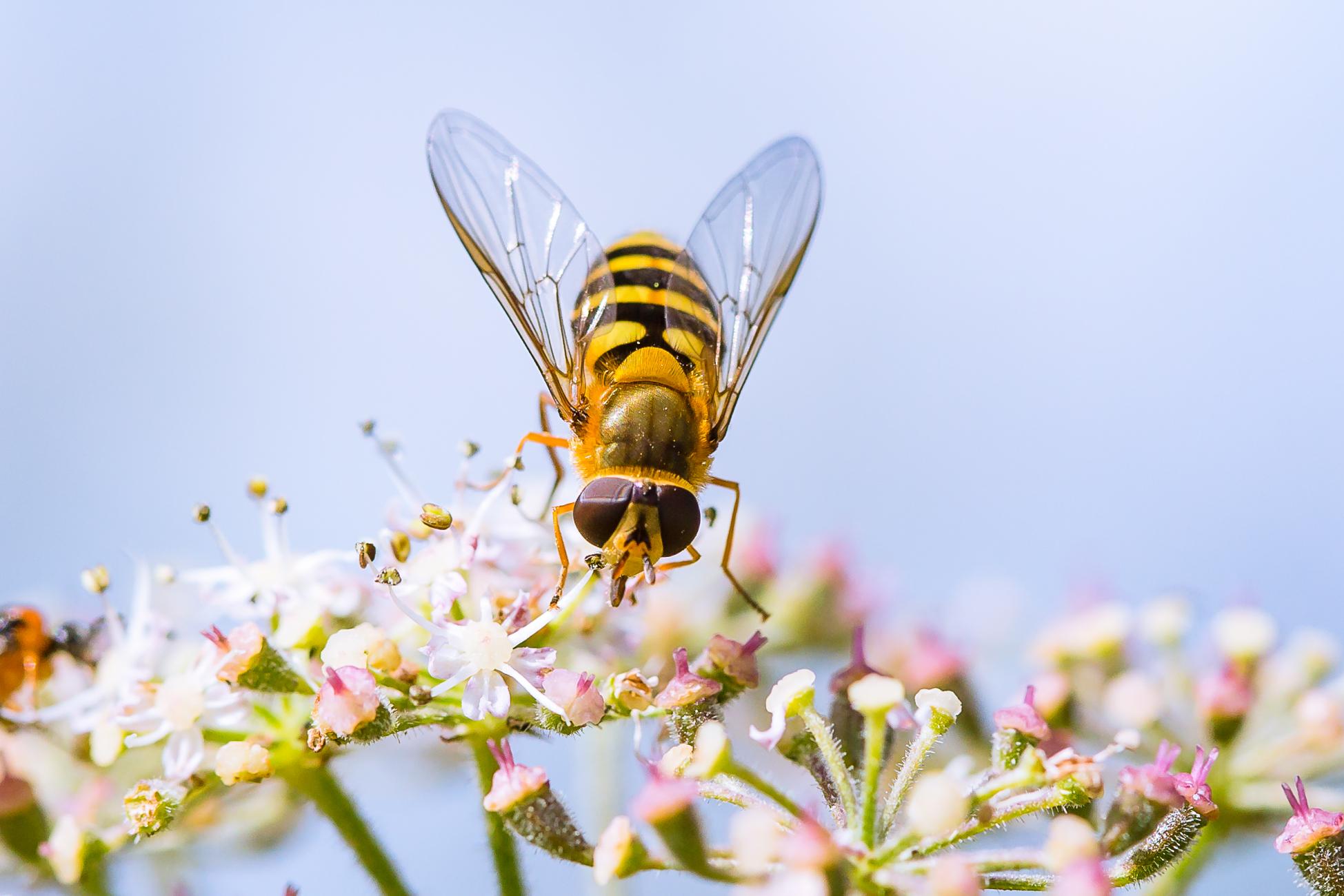 Hoverfly feeding on nectar