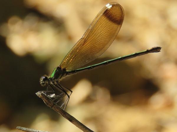 a dragonfly by bulbulov