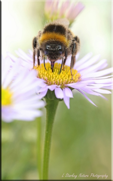 BUMBLE BEE by Hoverflylover