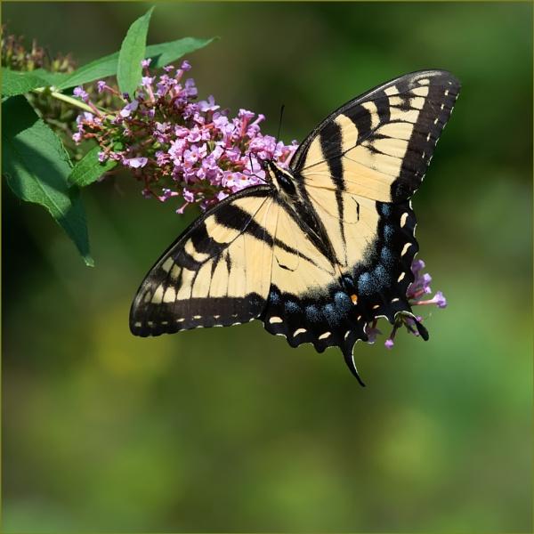 Appalachian Tiger by taggart